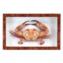 Large Real Crab in Box Frame - Walnut Wooden